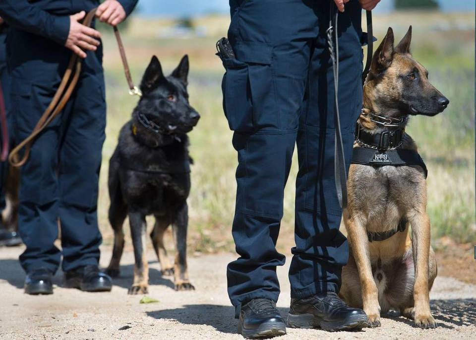 Belgian Malinois Rescue Dogs Uk